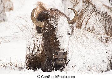 bisonte, em, inverno, tempestade