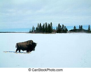 bisonte, en, el, nieve