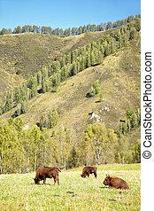 bisonte, europeu