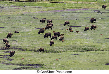 bisonte, gregge, campo verde