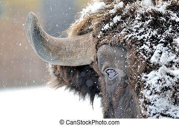 bisonte, inverno