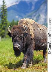 bisonte, norteamericano, búfalo, o