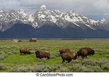 bisonte, rebanho, família, celeiros, e, wyoming, montanhas