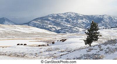 bisonte, rebanho, migrate, em, inverno