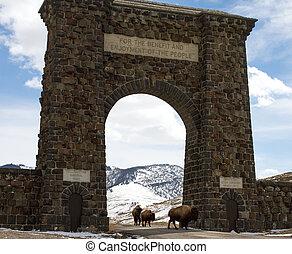 bisonte, rebanho, migrates, através, arco passagem