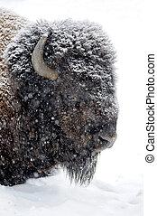 bisonte, retrato, em, inverno