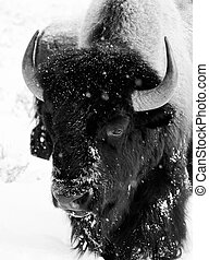bisonte, touro, nevando, preto branco, enfrente retrato