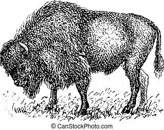 bisonte, vendemmia, engraving.
