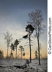bitófák, alatt, tél