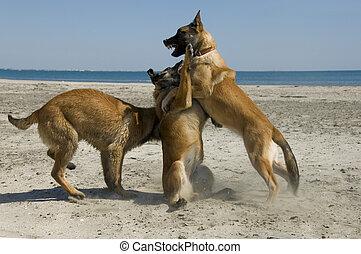biting belgian shepherd - three young purebred belgian...