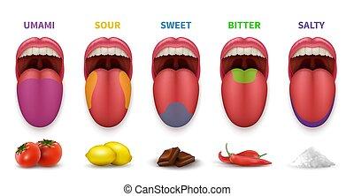bitter, areas., mund, vektor, menschliche , beigeschmack, zunge, lieb, freigestellt, grundwortschatz, weißer hintergrund, geschmack, landkarte, umami, salzig, diagramm, sauer
