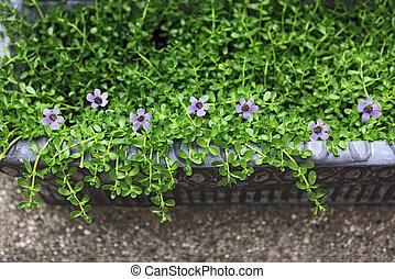 Bitter Herb Flowers - Bacopa Bitter Herbs monnier, Bitter...