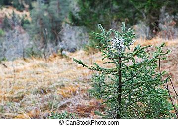 Bitter liquid coating the tip of pine tree shrub to prevent deers to bite saplings