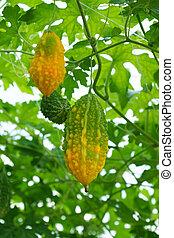 Bitter melon (Momordica charantia L.) - Bitter melon...