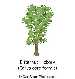 Bitternut hickory icon, flat style - Bitternut hickory icon....