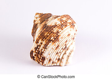 bivalve with brown blurs on a white background