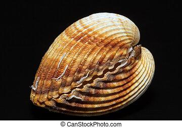 bivalvia, doble, aislado, solo, fondo negro, concha marina