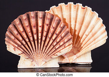 bivalvia, plano de fondo, conchas, macro, mar negro