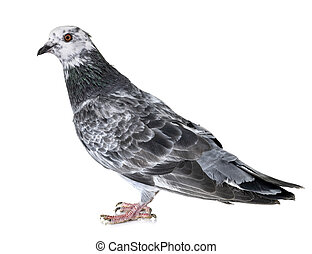 bizet pigeon in front of white background
