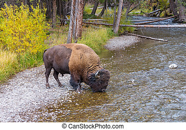 Wild buffalo  in Yellowstone National Park, USA