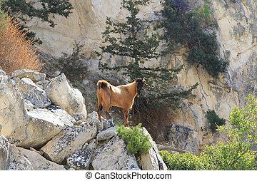 Bjerg,  goat