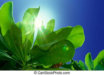 blättchen, sonne, grün