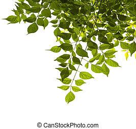 Blätter, grün, weißes, hintergrund