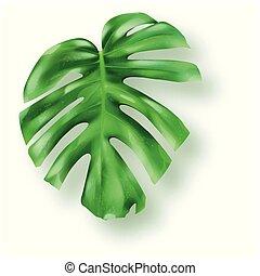 blätter, monstera, tropische , grüner hintergrund, weißes