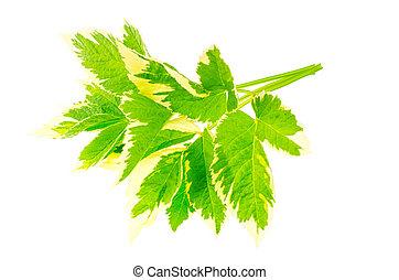 blätter, von, aegopodium, podagraria, variegata