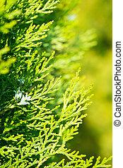 blätter, von, kiefer, thuja, gelb grün, hintergrund