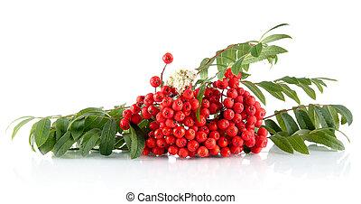 blätter, weißes, freigestellt, hintergrund, rowanberry
