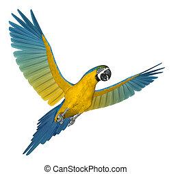 blå, 2, flyve, macaw, guld