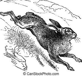 blå alpin, årgång, hare, gravyr, (lepus, timidus), eller