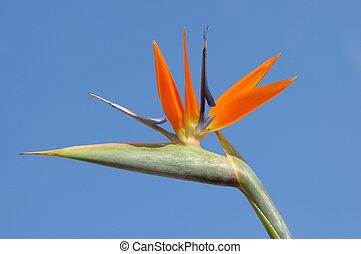 blå blomstr, strelitzia, himmel, imod, fugl, paradis, eller