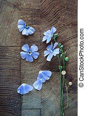 blå blomstrer, i, flax