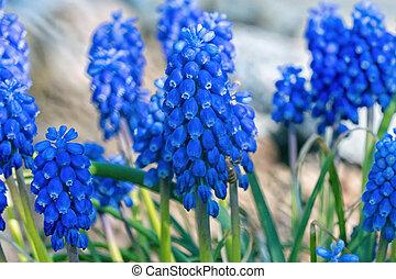 blå blomstrer