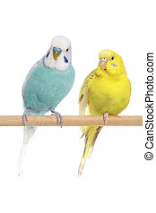 blå, budgerigars, branch, gul