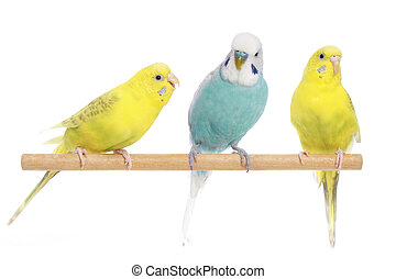 blå, budgerigars, to, gul, branch