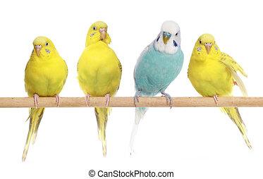 blå, budgerigars, tre, gul, branch
