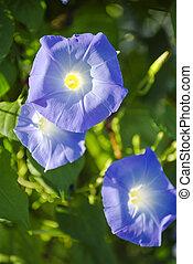 blå, färgad, morgon härlighet, blomningen