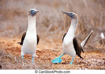blå footed booby, parre dans
