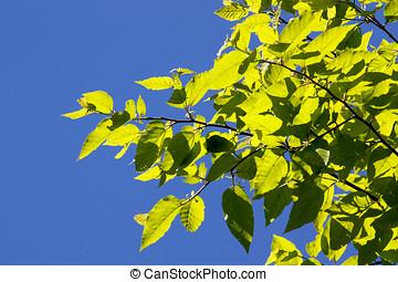 blå himmel, blad, grøn baggrund