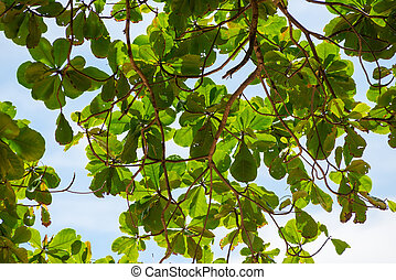 blå himmel, blade, træ, imod, grønne, branch, thailand, strand