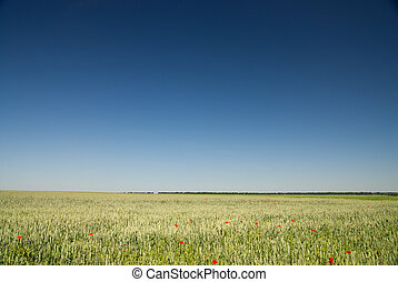 blå himmel, hvede, grønnes felt
