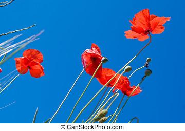 blå himmel, imod, valmue, blomster, rød