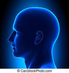 blå, huvud, -, anatomi, synhåll, sida, lura