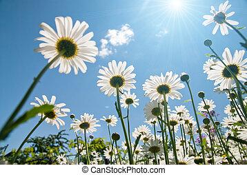 blå hvid himmel, chamomiles, imod