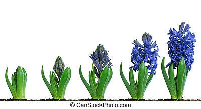 blå, hyacint, blooming