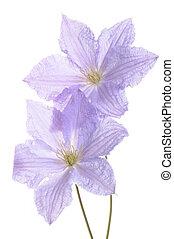 blå, klematis, blomma