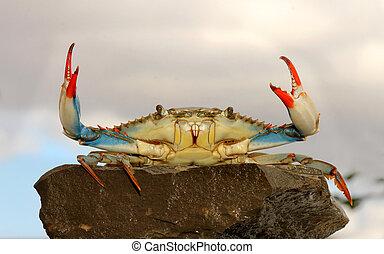 blå, levande, pose, krabba, strid